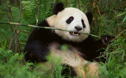 Why Saving the Panda Matters to Other Animals - pandas  coexist  peacefully with many other species; thus, saving panda habitat ensures the survival of the other species as well (good article)