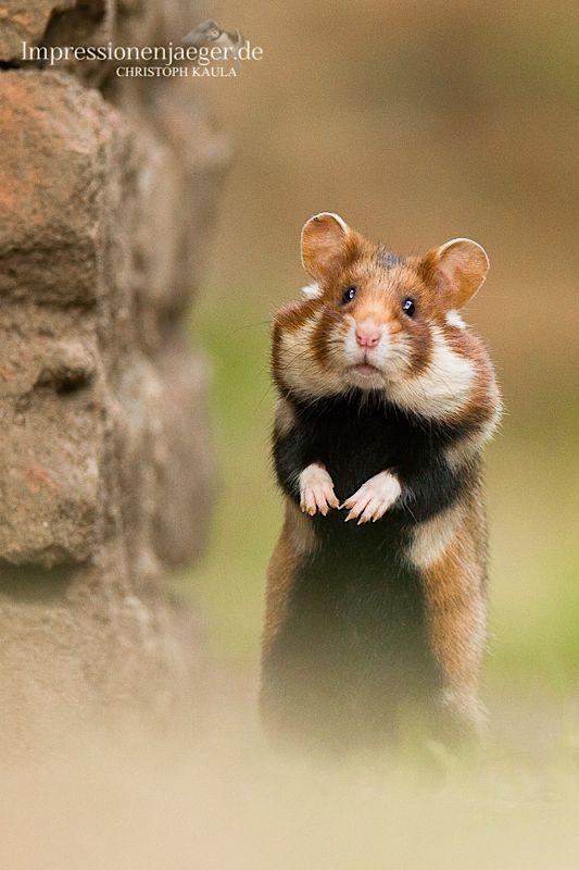 European wildhamster Impressionenjaeger - Wildlife Photography