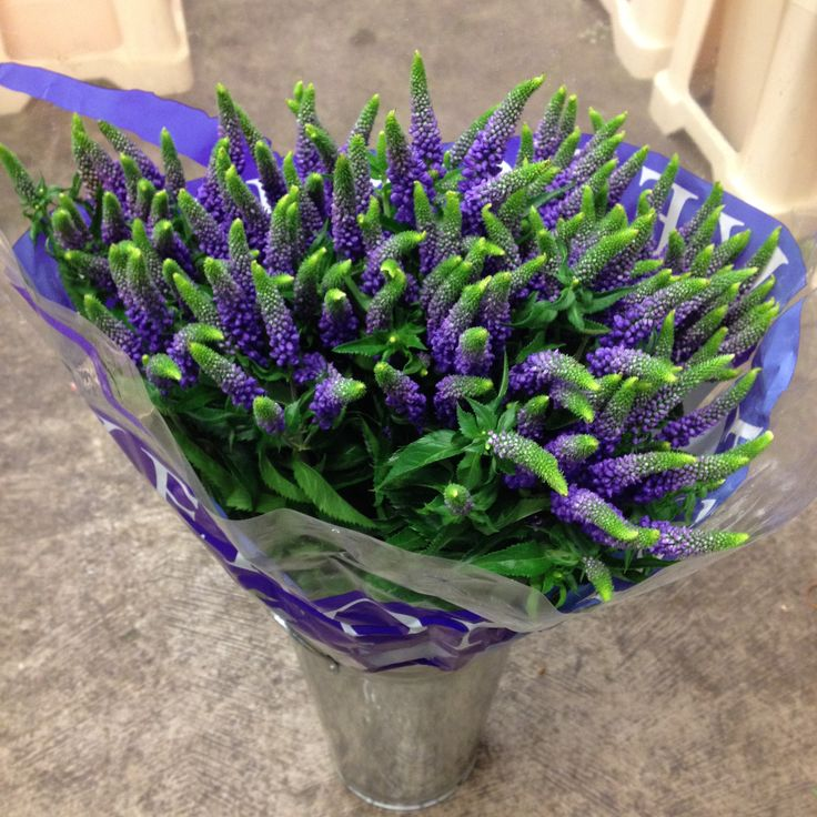 The lovely Veronica...in Purple. Sold in bunches of 10 stems from The…