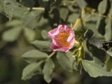 9 native roses for TX   NPIN