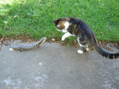 cat v blue tongue lizard