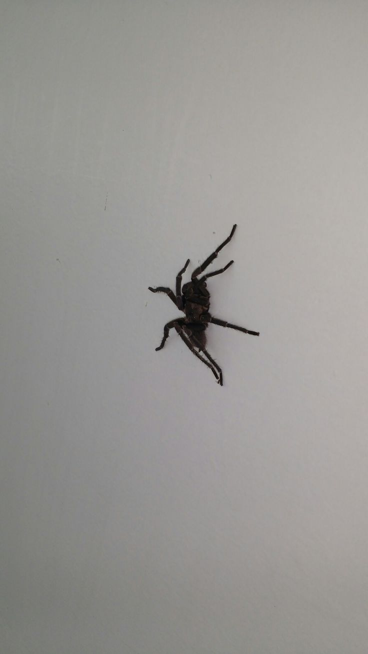 Aranha de Marabá/Pa.