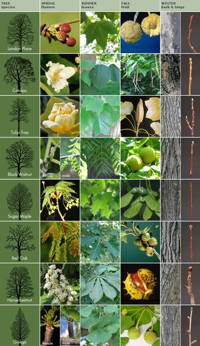 Getting to Know Trees | Royal Ontario Museum (take kids to Queen's Park in spring, summer, and fall to identify trees)