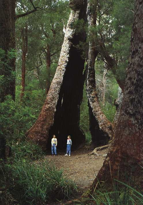 Giant Tingle tree in the Valley of the Giants near Walpole, Western Australia