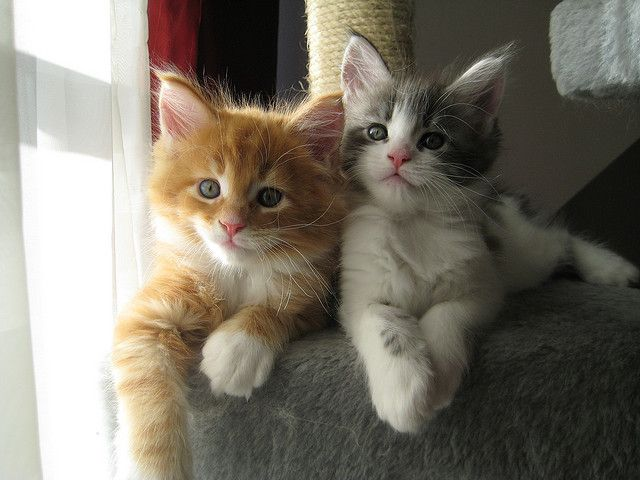 Maine coon kittens!!!!!!!!!!!!!!!!!!!!!!!!!!!!!  Imagine coming home after a really crappy day to these two !!!!
