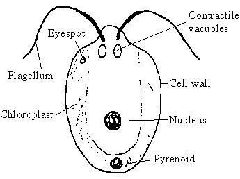 Diagram of chlamydomonas Science Microorganisms Friend and