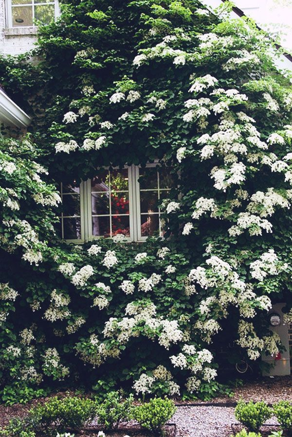 Climbing hydrangea - I've planted this on the wall of our Tudor home, and this year it's really taken off!
