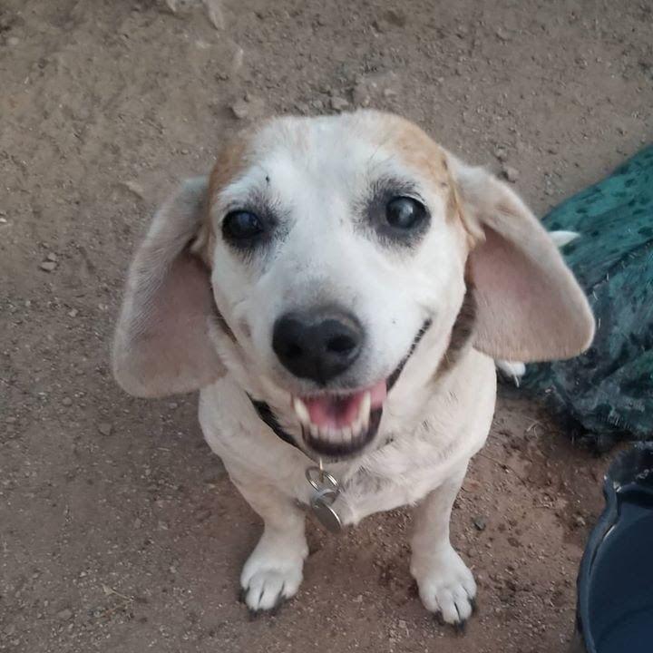 Adopt Roxie T On Beagle Rescue Beagle Beagle Dog
