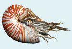 The nautilus and the ammonite