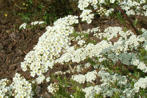 Spierstruik 'Grefsheim'    De Spiraea x cinerea 'Grefsheim' (Spierstruik 'Grefsheim') is een erg bekende struik met een zeer rijke bloei. De individuele bloemen zijn klein, en staan in grote, langwerpige schermen bij elkaar. De bloei duurt van april tot mei