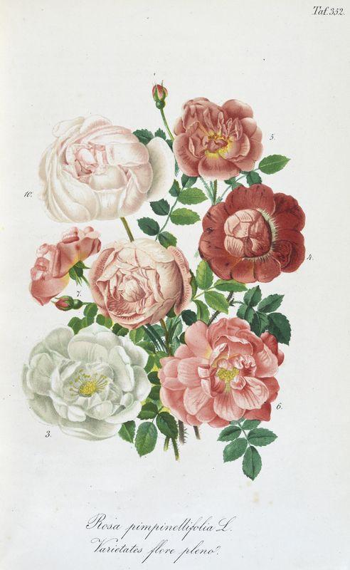 SNHF | Rosa Pimpinellifolia L. Varietates flore pleno