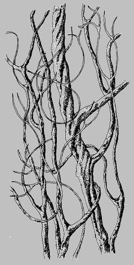Lichen Illustrations  By Alexander Mikulin (mag@proaxis.com)   Sulcaria badia