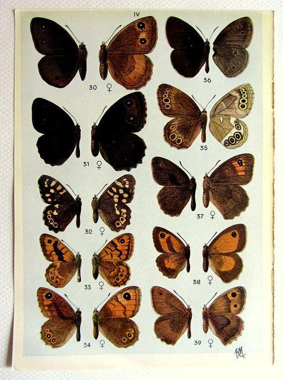 Differenti specie di farfalle colori Litografia stampa, 1944 vintage antichi insetti incisione, piastra lepidotera farfalla di entomologia.