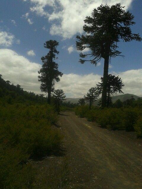 Araucarias  Chile
