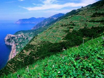 Vineyards of Sciacchetra', Cinque Terre