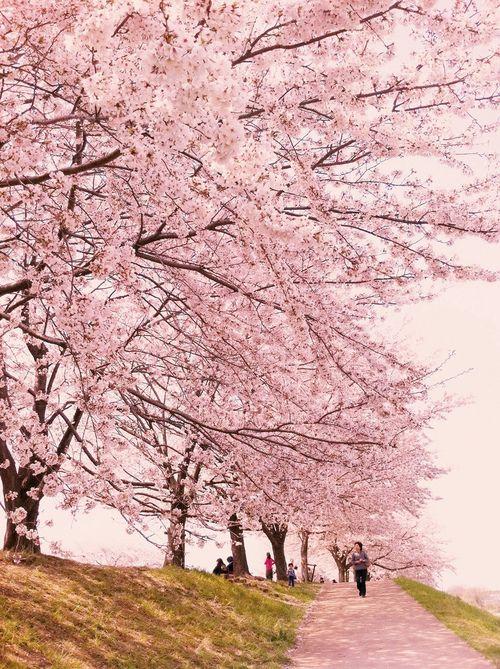 Sakura road, Japan
