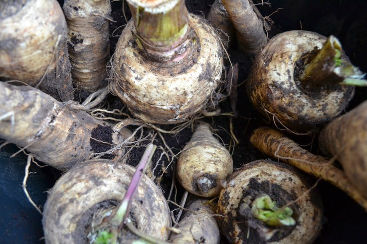 Jag lagrar palsternackorna i torv över vintern: http://skillnadenstradgard.blogspot.se/2014/11/lagrar-palsternackorna-i-torv.html #trädgård #odla #grönsaker