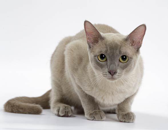Kot Tonkijski Tonkinese Cat Cute Cats Cat Breeds