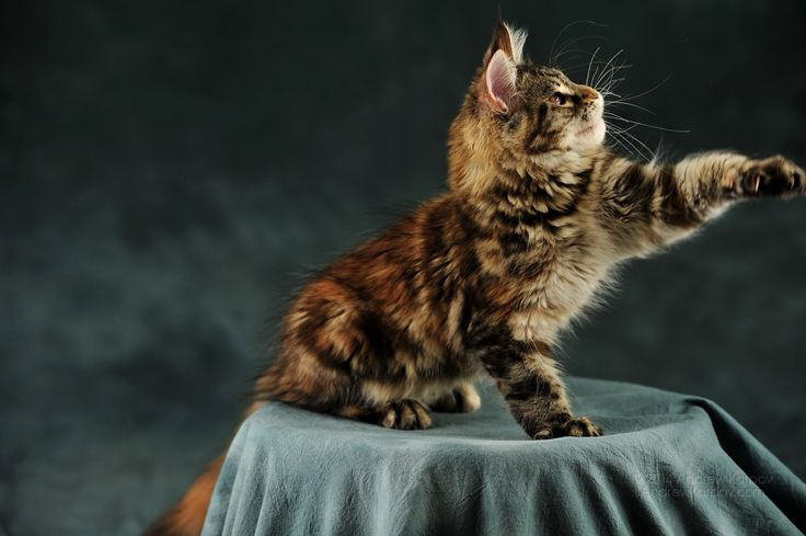 Maine Coon, Black torti tabby blotched (f 22). AmbientCat Fisker