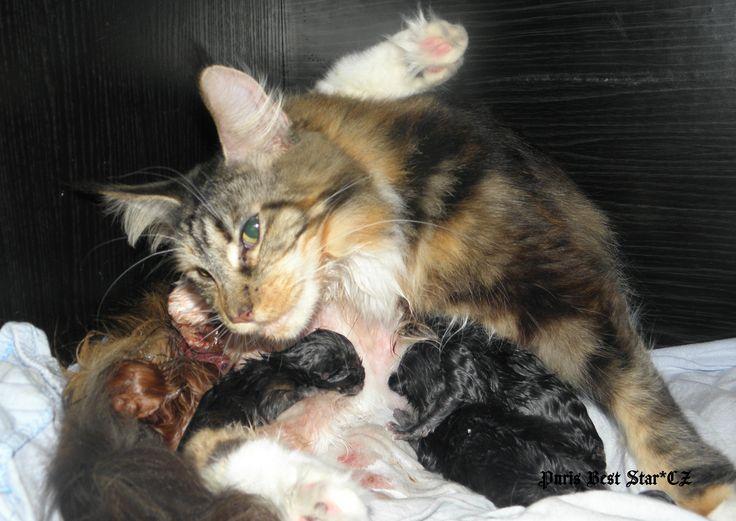 """To jsme my, koťátka z vrhu """"M"""" přicházíme na svět. K narození jsme si vybrali 2. března 2016 :-). Naše maminka je šikovná a vše zvládá bez problémů a pomáhá nám s příchodem na svět :-)."""