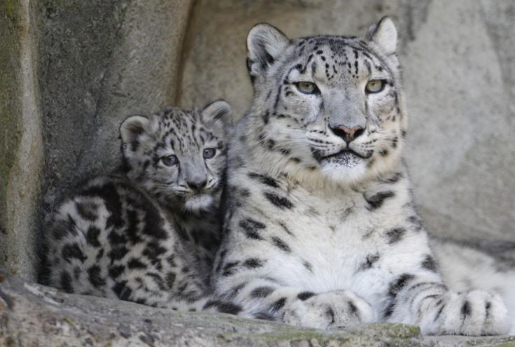 baby+snow+leopards | Snow Leopard Cubs the Cutest Baby Animal Ever? [PHOTOS]