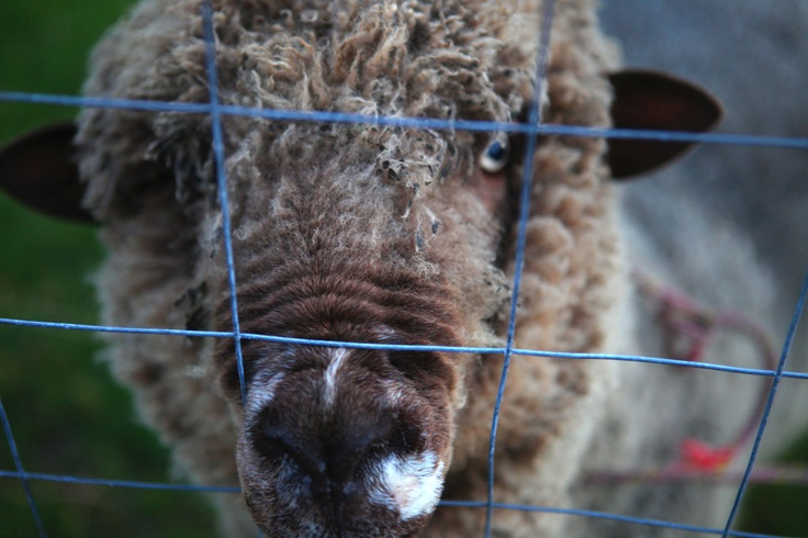 BJ - Head of the Sheep Household