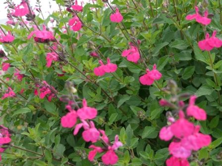 18 best salvia images on pinterest | flowers, compact and plants