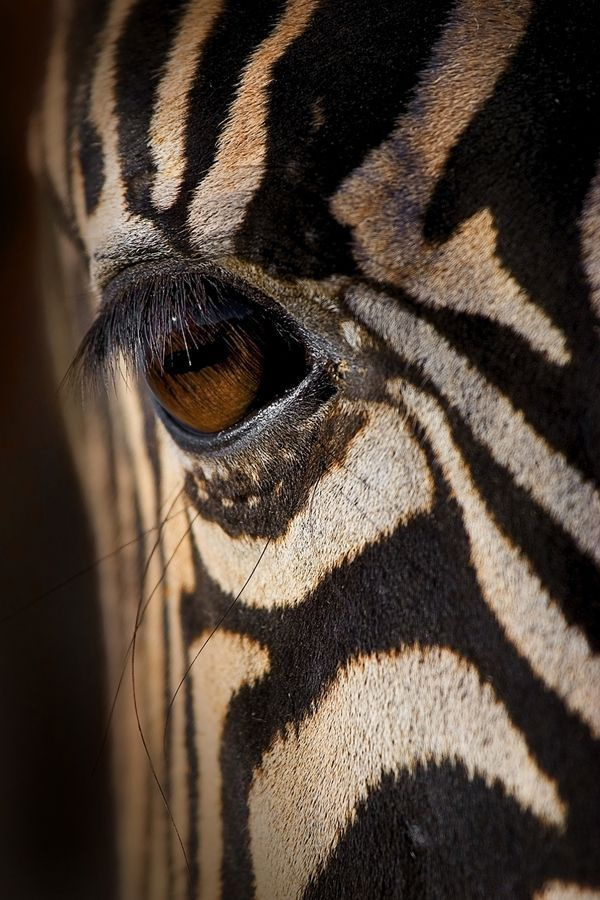 Eye of The #Zebra. An amazing close-up #photograph!