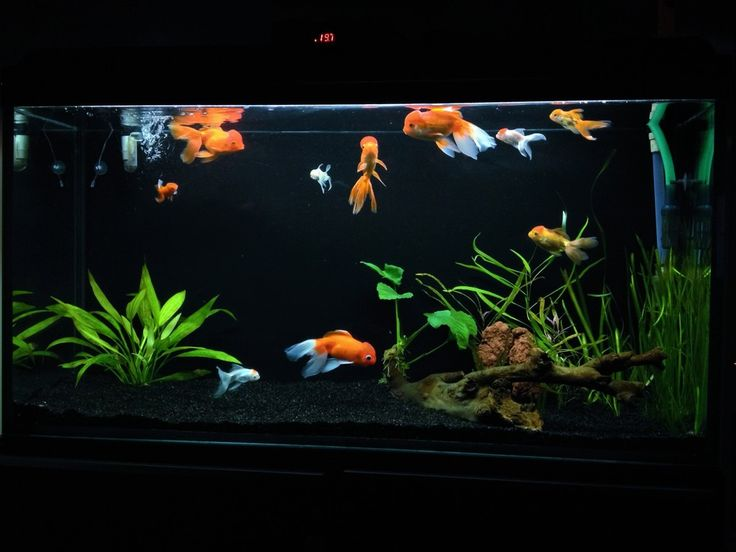 Best 25 goldfish tank ideas on pinterest fish tank for Aquarium decoration for goldfish