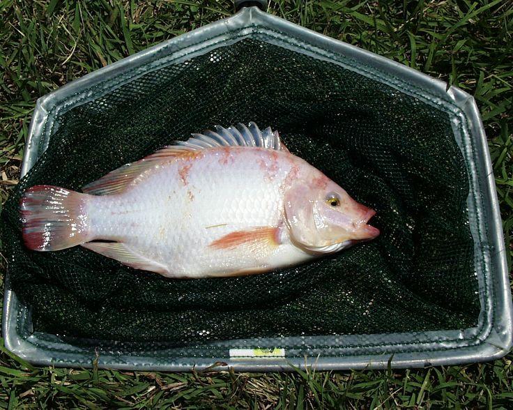 How to raise tilapia in the backyard http www for Tilapia fish farming