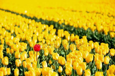 Descargar - Tulipanes amarillos y rojos de pie fuera de la multitud — Imagen de stock #14285583