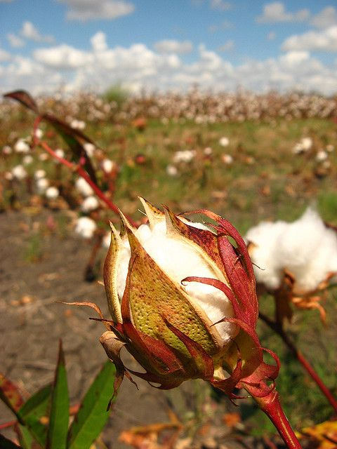 Way down South where the cotton grows....cotton  **My dad  picked cotton, when he was very young.  DeR