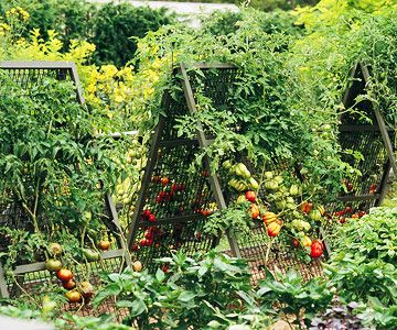 Two wire-mesh panels leaning against each other make a quick-to-assemble support structure for two tomato plants  #tomatoes #gardenDiy Ideas, Quick To Assembly Support, Support Structures, Tomatoes Support, Panels Lean, Growing Tomatoes, Tomatoes Trellis, Wire Mesh Panels, Tomatoes Plants Support Diy