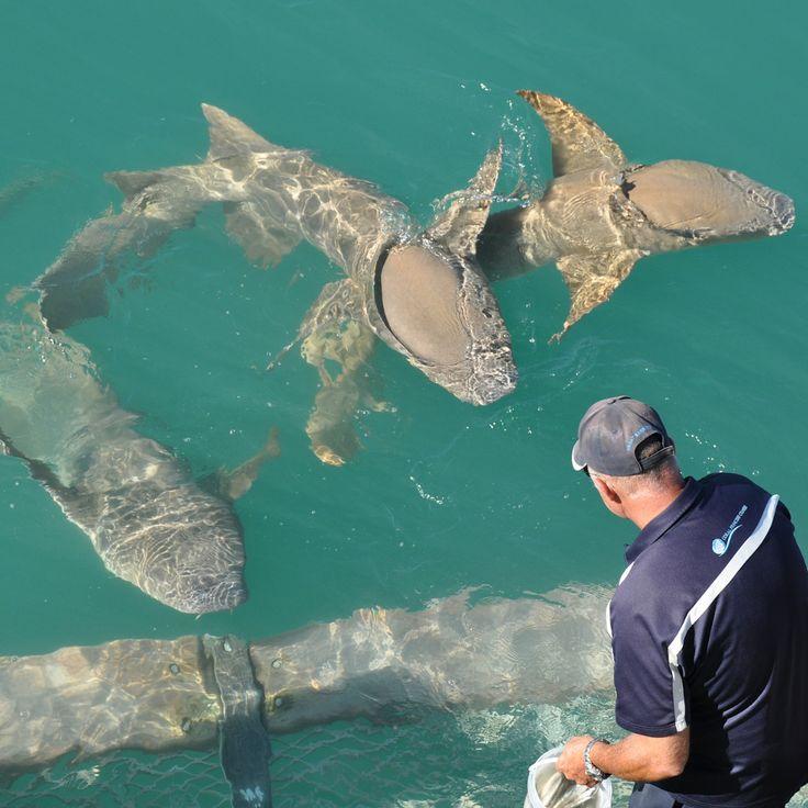 Feeding the tawny nurse sharks along the #Kimberley coast #mykimberleybucketlist image credit:Lesley Gordon #AuroraExpeditions