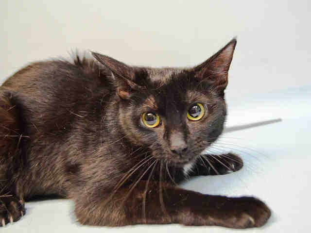 "MARIE – A1113547  Urgent - Brooklyn     Previous | Next  Three young ""ARISTOCATS"" named MARIE, TALUSE AND BERLIOUS were surrendered for ""no time"" and need new homes.."