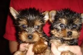 Two Adorable Teacup Yorkie puppies forfree adoption Text (720) 663-9037 Two gorgeous and adorable cute teacup Yorkie puppies for adoption, its a Male and a Female. They come with full AKC Registration. They are ready to become your life long companion, they have good temperament and healthy puppies. my Yorkie puppies are socialized with children and other animals.Text us Via (720) 663-9037