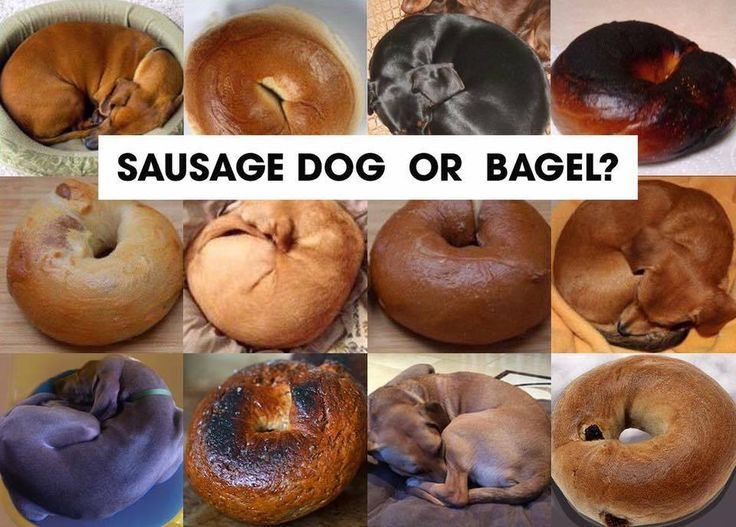 Can You Tell The Difference A Dachshund And A Bagel Bahaha