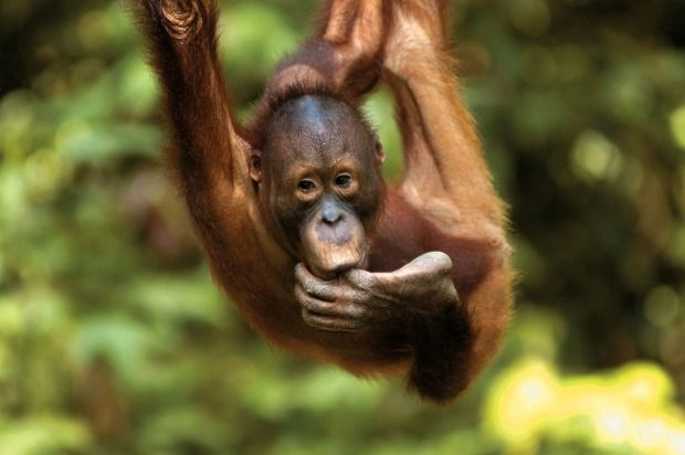 "AUGUST. WHERE Borneo. WHY ""In August, the trees are fruiting, and the orangutans are grazing closer to the ground, so you get much closer to them. There are also Asian monkeys, Asian e..."