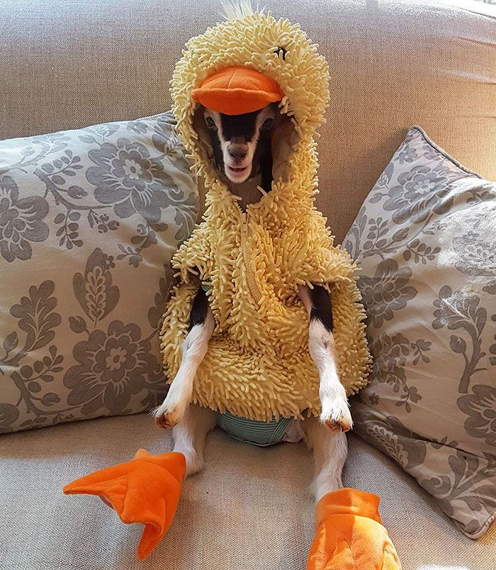 rescued-goat-suffering-from-anxiety-calms-down-only-in-her-duck-costume