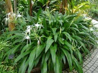 Hymenocallis speciosa - spider lily
