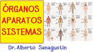 Resultado de imagen para todos los organos del cuerpo humano y sus funciones