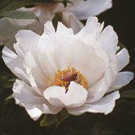La collezione di Peonie in vendita del Centro Botanico Moutan - Fenice Bianca (Feng Dan Bai)