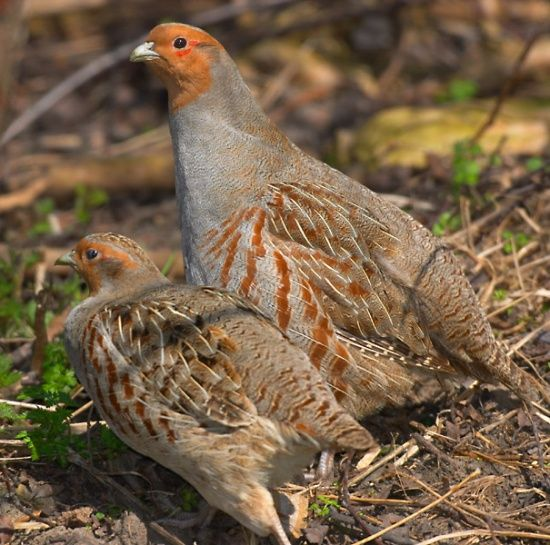 Grey Partridge (Perdix perdix) also known as the English Partridge, Hungarian Partridge, or Hun, is a gamebird in the pheasant family Phasianidae of the order Galliformes, gallinaceous birds.