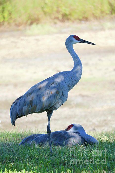 Drama In World Of Birds Sandhill Crane >> Time To Rest Sandhill Crane Couple By Carol Groenen For The Birds