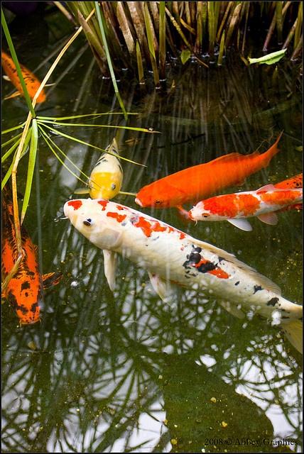 792 Best Images About Koi Pond Backyard On Pinterest