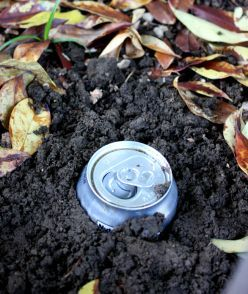 How To Get Rid of Pesky Earwigs and Slugs with Soda or Beer - worth a shot, I'm sick of those earwigs!