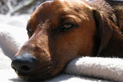 Symptoms of Yeast Infections in Dogs