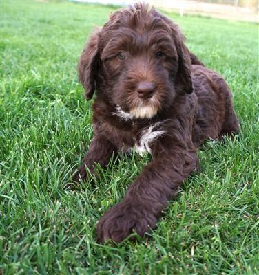 Chocolate F1b Labradoodle puppy