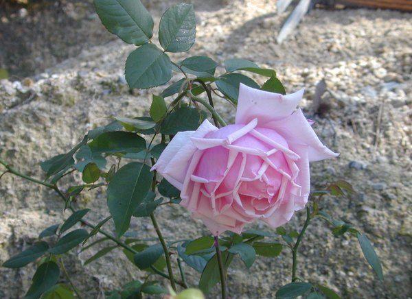 Les 24 meilleures images propos de la roseraie sur for Rosier jardin de france