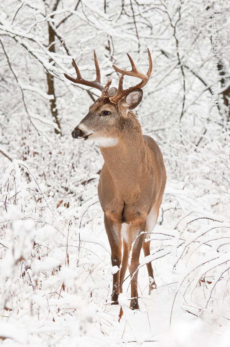 best 10 white tail ideas on pinterest white tailed deer animal